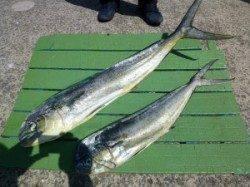 沖一文字内向き のませ釣りでシイラ2人で15匹