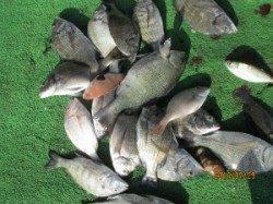 一文字前イカダでチヌ釣り!チヌは13枚釣れました
