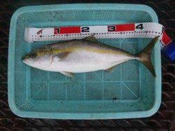須磨海づり公園 のませ釣りでハマチ49.5cm