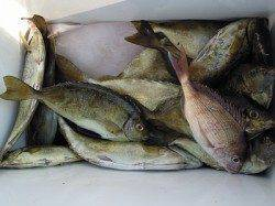 湯浅の磯のフカセ釣り アイゴとマダイの釣果