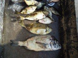 湯浅の磯でフカセ釣り アイゴにチヌ