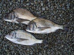 紀州釣りで良型のチヌ 湯浅の磯で