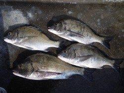 湯浅の磯で紀州釣り チヌ41cmを頭に4枚
