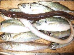 佐野で夜釣り 投げ&ウキ釣りでアジ、キス、アナゴ