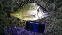 岸和田夜釣りでキビレ2匹〜苦潮で厳しい状況でした