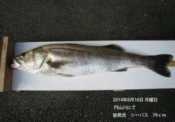 円山川にてシーバス79cm