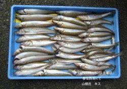 香住西港にてキスが好釣果です