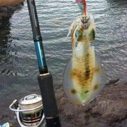 比井漁港 アオリイカの新子も本格化です