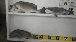 みなべ町の地磯目津 フカセ釣りでコロダイの釣果