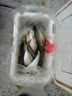 沖の北のサビキ釣果、良型アジが好調です