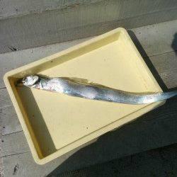 沖の北にてさんまをエサにタチウオ88cmをキャッチ