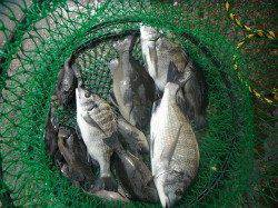 北港魚つり公園 チヌ・キビレ・グレの釣果