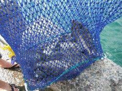 サビキでアイゴ・グレ・シマイサギ 和歌山北港魚つり公園