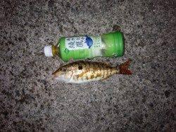 堺・一本松漁港 夜9時半頃からのイサギ狙い釣行