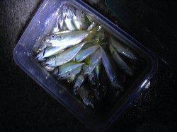 樽井漁港でアジング 港内にアジ回遊、活性高く入れ食い状態でした!
