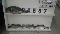 白浜富田河口でフカセ釣り グレ42cmとセイゴの釣果