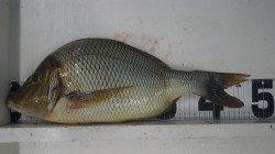 印南の波止にて小アジの泳がせ釣りでタマミの釣果