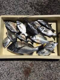 マリーナシティ海釣り公園 シラサの胴突きでアコウ・ガシラ