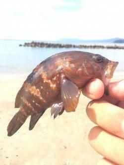 赤崎エリアで海水浴の合間にアコウ数匹の釣果、楽しめました♪