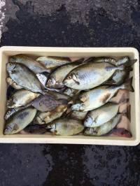 マリーナシティ海釣り公園 酒かすで良型アイゴの釣果