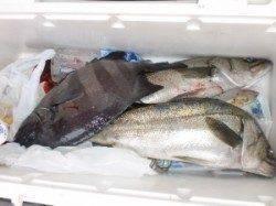 立島で底物釣り、サンバソウ38cm 他ルアーでスズキも。