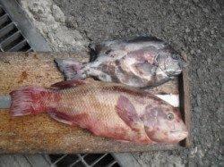 大磯での底物釣り 石鯛&カンダイ