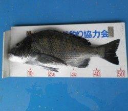 千歳イカダで年なしチヌ51.1cm