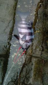 三尾の磯で底物釣り 大物クエに石鯛