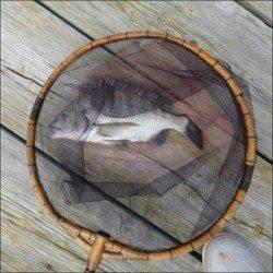 日引イカダにチヌ釣行〜潮色回復後に期待