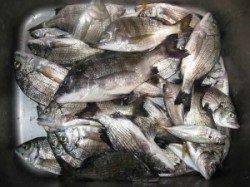 宮崎沖カセでチヌ65匹☆ 活性が良く食い好調でした