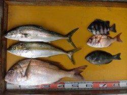 三尾の磯 フカセでマダイ・ヒラマサ カゴ釣りでマダイ・グレ
