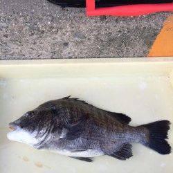 マリーナシティ海釣り公園 自己記録更新サイズのチヌゲット