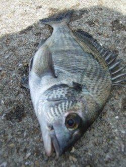 西中島埠頭で落とし込みチヌ 開始早々沈みこみが止まるアタリ!