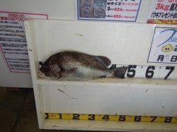 みなべ堺堤防 カゴ釣りでコショウダイ48cm