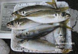 津居山にてアジ20㎝の釣果
