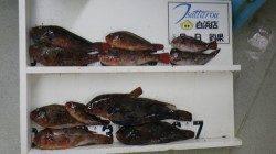 白浜日置の地磯・大崎 ホンダワラのウキ釣りでイガミ