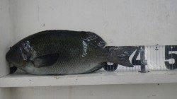 見老津漁港 紀州釣りで口太グレ39cm&尾長グレ28cm