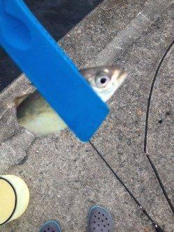 ボトムを探ると入れ食い状態 大阪南港アジングで73匹