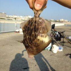 大蔵海岸 サビキでアジ&アオイソメの胴突き仕掛けでカワハギ