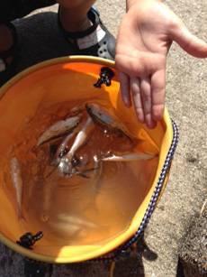 平磯海づり公園 サビキで小イサギ・アジの釣果