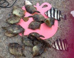 大蔵海岸 探り釣りでカワハギ 餌取りに苦戦しながらキープサイズをゲット
