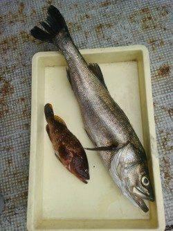 岸和田一文字 ノマセでスズキ75cm・ツバス ウキ釣りでアコウ・タチウオ