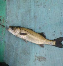岸和田一文字・沖の北 ドジョウの引き釣りでタチウオの釣果