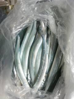 岸和田一文字 キビナゴのウキ釣りでタチウオ、ほかサヨリ・アジも釣れています