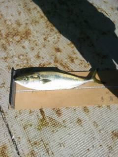岸和田、ノマセ釣りで青物が好調です
