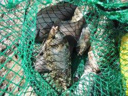 和歌山北港魚つり公園 チヌ・イシガキダイ・カワハギの釣果