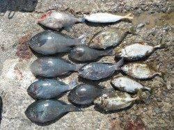 和歌山北港魚つり公園 グレ・ウマヅラ・アジ・アイゴ