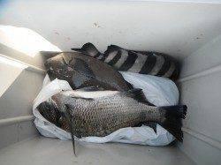和歌山北港魚つり公園 メジロ67cmの釣果