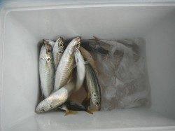 和歌山北港魚つり公園 良型アジが釣れています