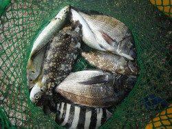北港釣り公園 チヌ・アイゴ・サンバソウの釣果